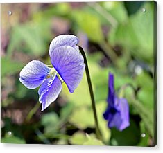 The Violet Acrylic Print by Susan Leggett