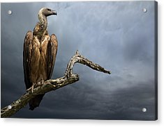 The Vulture Acrylic Print