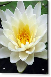 Acrylic Print featuring the photograph The Water Lilies Collection - 03 by Pamela Critchlow