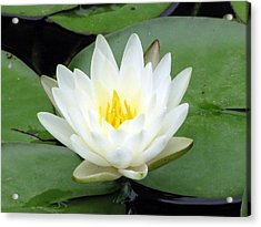 Acrylic Print featuring the photograph The Water Lilies Collection - 04 by Pamela Critchlow