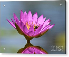 The Water Lily And The Bee Acrylic Print by Kathy Baccari