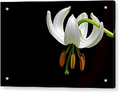 The White Form Of Lilium Martagon Named Album Acrylic Print by Torbjorn Swenelius