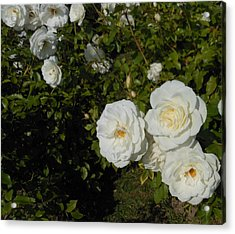 The White Rose Is A Dove Acrylic Print by Kay Gilley