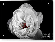 The White Rose Acrylic Print