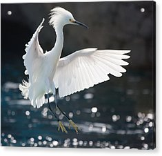 Acrylic Print featuring the photograph The White Winged Wonder by Nathan Rupert