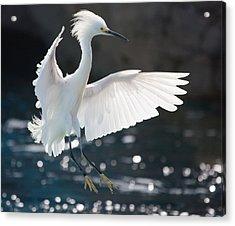 The White Winged Wonder Acrylic Print
