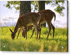 The Whitetail Deer Of Mt. Nebo - Arkansas Acrylic Print