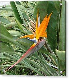 The Wilting Bird Of Paradise Acrylic Print