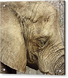 The Wise Old Elephant Acrylic Print by Nikki McInnes