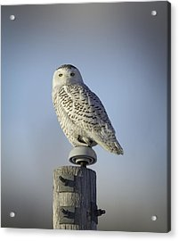 The Wise Snowy Owl Acrylic Print by Thomas Young