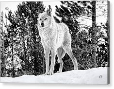 The Wolf  Acrylic Print by Fran Riley