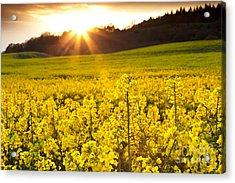 The Yellow Rapeseed Field Beautiful Acrylic Print by Boon Mee