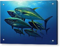 Yellowfin Acrylic Print