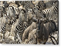 The Zebra Rush Acrylic Print by Paul W Sharpe Aka Wizard of Wonders