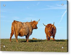 There Can Be Only One Highland Cow Acrylic Print