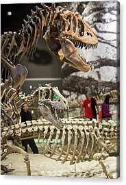 Theropod Dinosaur Fossils Display Acrylic Print by Jim West