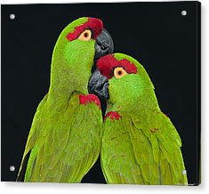 Thick-billed Parrot Pair Acrylic Print