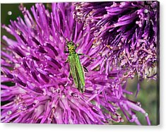 Thick-legged Flower Beetle On Knapweed Acrylic Print by Bob Gibbons