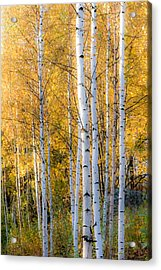 Thin Birches Acrylic Print