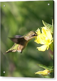 Acrylic Print featuring the photograph Thirsty Little Hummingbird by Anita Oakley