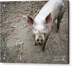 This Little Piggy Acrylic Print by Edward Fielding