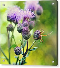 Thistle And Spinner Acrylic Print by Gynt