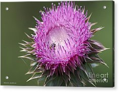 Thistle And The Bee Acrylic Print by Tannis  Baldwin