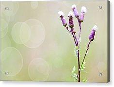 Thistle Flowers Acrylic Print
