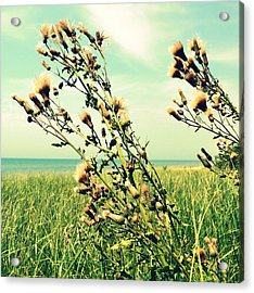 Thistle On The Beach  Acrylic Print by Michelle Calkins