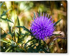 Acrylic Print featuring the photograph Thistle by Phil Abrams