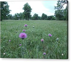Thistles In The Hay Field Acrylic Print
