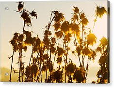 Thistles In The Sunset Acrylic Print by Chevy Fleet