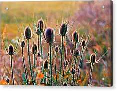 Thistles With Sunset Light Acrylic Print