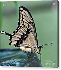 Thoas Swallowtail Butterfly Acrylic Print by Heiko Koehrer-Wagner