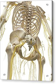 Thoracic Bones And Nerves Acrylic Print by Sciepro