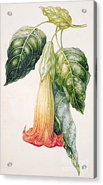Thorn Apple Flower From Ecuador Datura Rosei Acrylic Print by Augusta Innes Withers