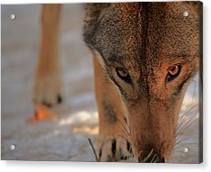 Those Eyes Acrylic Print by Karol Livote