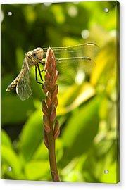 Those Wings Acrylic Print by Adel Nemeth