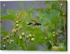Acrylic Print featuring the photograph Thread-waist Wasp by James Petersen