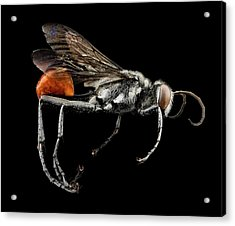 Thread-waisted Wasp Acrylic Print by Us Geological Survey