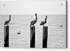 Three Amigos Acrylic Print by Scott Pellegrin