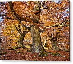 Three Ancient Beech Trees - Germany Acrylic Print by Martin Liebermann