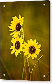 Acrylic Print featuring the photograph A Trio Of Black Eyed Susans by Gary Slawsky