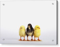 Three Baby Chicks In A Rowbritish Acrylic Print by Thomas Kitchin & Victoria Hurst