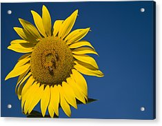 Three Bees And A Sunflower Acrylic Print