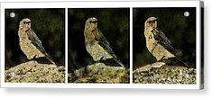 Three Birds Acrylic Print by John Goyer