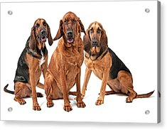 Three Bloodhound Dogs Isolated On White Acrylic Print by Susan Schmitz