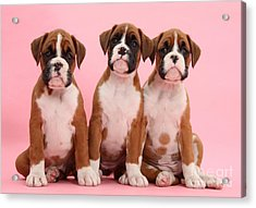 Three Boxer Puppies Acrylic Print by Mark Taylor