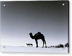 Three Camels In The Sahara Desert Acrylic Print by Zodebala