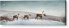 Three Caribous Acrylic Print by Priska Wettstein